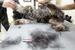 Профессии грумера, специалиста, который занимается стрижкой и гигиеной животных, до недавних пор вообще не существовало.