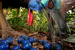 Кристиан Циглер, Германия                                          Южные Казуары, Австралия                      16 ноября 2012, Блэк Маунтин Роад, Австралия                     Южный казуар (Casuarius casuarius) кормится плодами голубого квандонга, или голубой фиги, в штате Квинсленд (Австралия). Эти крупные нелетающие птицы могут достигать двух метров в высоту, при этом самцы весят около 55 кг, а самки – 76 кг. Вид находится под угрозой исчезновения – в естественной среде осталось не более 1500 особей. Эти птицы играют важнейшую роль в сохранении экосистемы древних тропических лесов на севере Квинсленда, так как способны переносить крупные семена растений в своих желудках на большие расстояния. Оказывается, семена нескольких десятков видов растений могут распространяться исключительно казуарами. Вид оказался под угрозой исчезновения из-за сокращения естественных мест обитания в результате сельскохозяйственной деятельности человека и строительства жилья, кроме того, их поголовье сокращается из-за домашних собак, немало птиц погибает под колесами автомобилей.