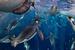 Пол Никлен, Канада, для журнала National Geographic                                          Императорские пингвины, море Росса.                     18 ноября 2011, море Росса, Антарктика                      Самым серьезным испытанием для императорских пингвинов стало таяние морского льда, поддерживавшего их колонии и экосистему.                      Последние исследования показали, что императорские пингвины способны утроить скорость плавания, выпуская миллионы пузырьков воздуха из своих перьев. Эти пузырьки уменьшают трение ледяной воды с перьями. Пингвины, двигаясь со скоростью до 30 км в час, спасаются от морских леопардов и выпрыгивают на лед.