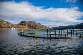 Первый съем лосося произошел в июле 2014 г., всего в 2014 г. компания выловила 4500 т лосося и 600 т форели