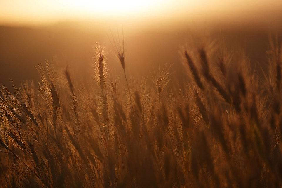 С начала текущего 2015/2016 зернового сезона (длится с июля по июнь) в России экспорт пшеницы облагается пошлиной