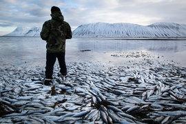 «После закрытия Норвегии Исландия – крупнейший импортер в Россию социально значимой рыбы, такой как сельдь, скумбрия и мойва», – отмечает сотрудник крупной рыбной компании