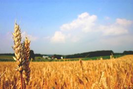 С начала текущего 2015/16 зернового сезона (длится с июля по июнь) в России экспорт пшеницы облагается пошлиной