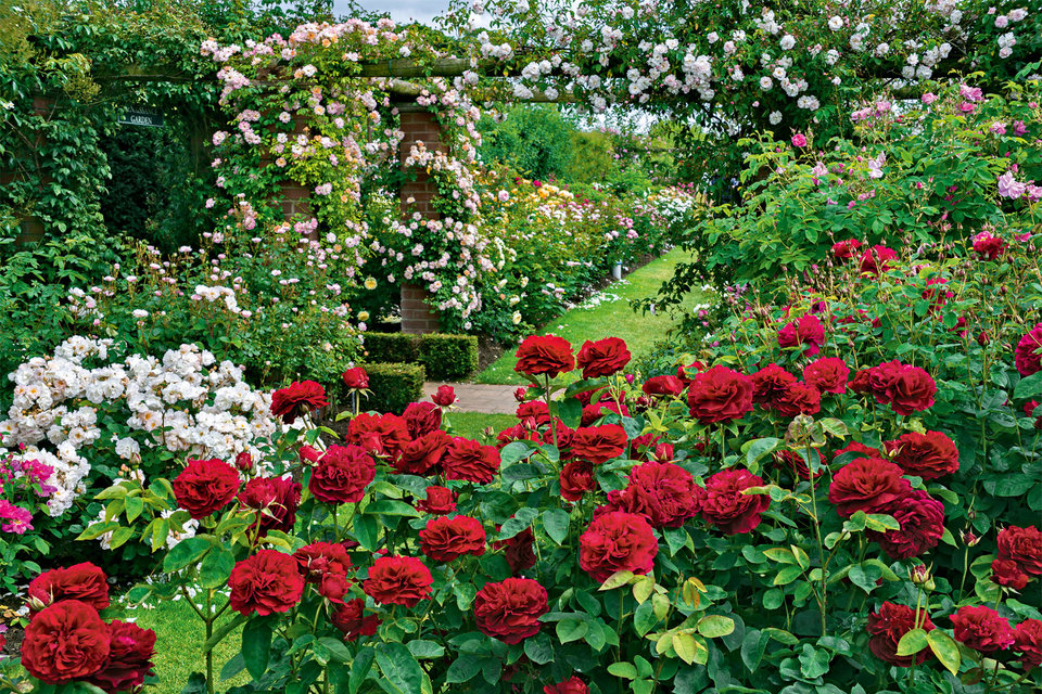 Настоящие английские розы – это уникальная группа сортов, выведенных знаменитым британским цветоводом Дэвидом Остином. Теперь их можно выращивать в России