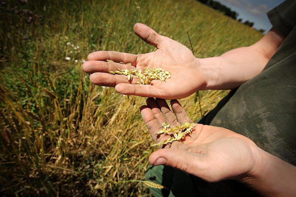 Американцы же, непривычные к тяжелому труду в поле, часто сбегают через несколько дней, жалуются фермеры