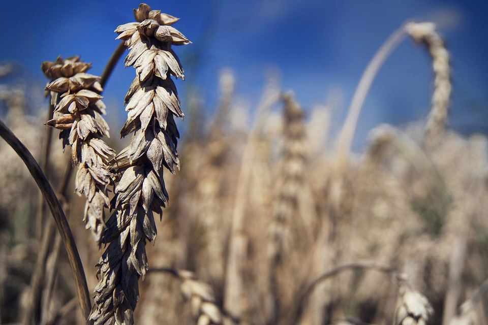 Зерновые интервенции – инструмент регулирования цен на внутреннем рынке