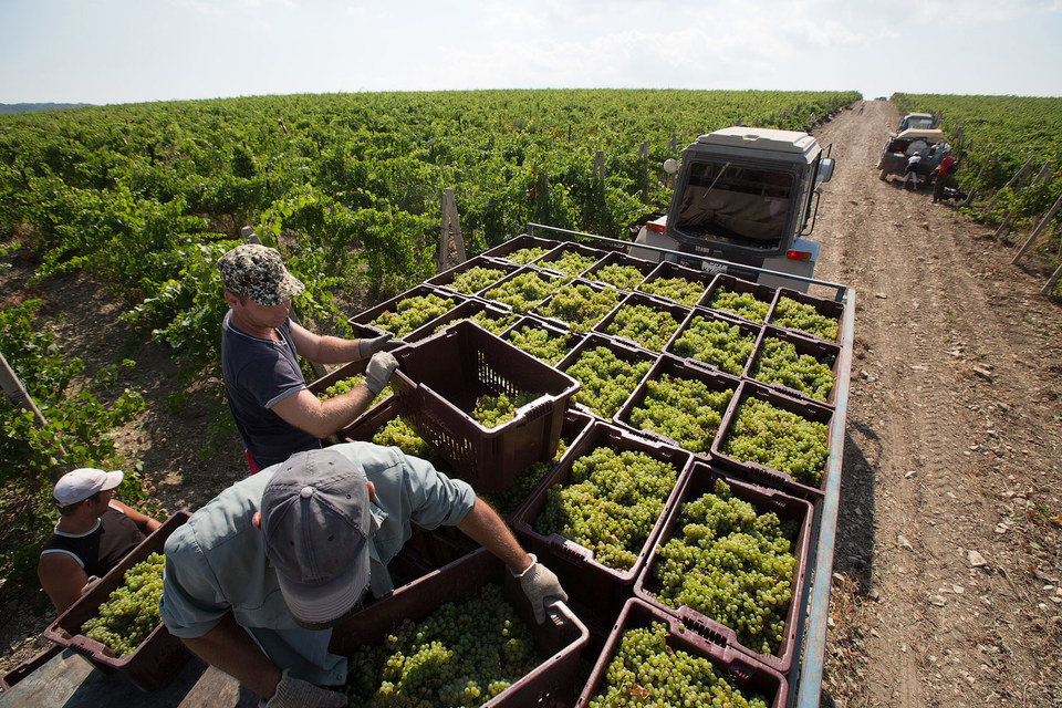 Даже если ежегодно расширять российские виноградники на 10 000 га, нехватка винодельческого сырья еще долго будет ощутимой
