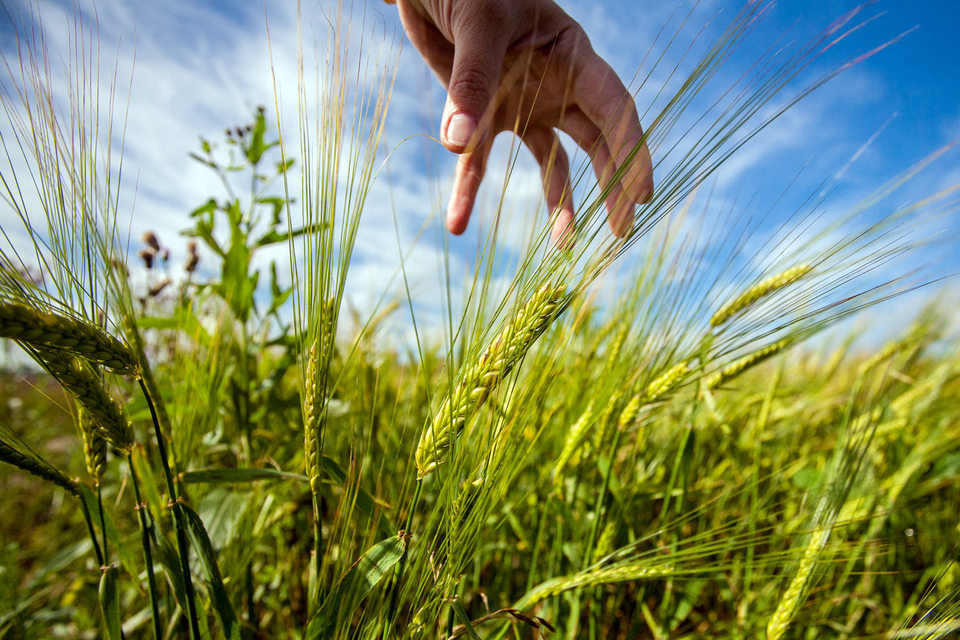Крым – единственный регион, завершивший уборку зерна