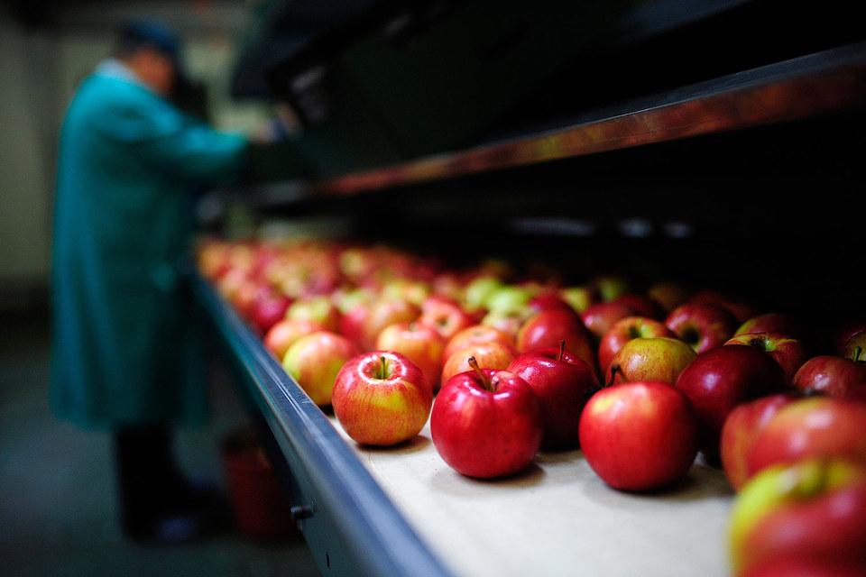 В этом году польские фермеры уже не страдают от запрета на поставки яблок в Россию