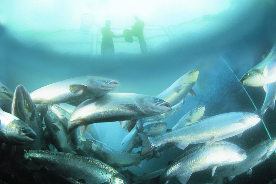 Крупнейший в мире производитель лосося Marine Harvest в III квартале 2015 г. увеличил расходы на борьбу с лососевой вошью по сравнению с началом года