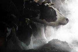 Некоторые субсидии повторяют друг друга: например, поддержка молочного животноводства предусмотрена двумя отдельными подпрограммами