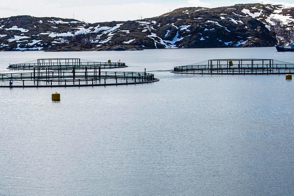 В этом году весной на садки «Русской аквакультуры» напала лососевая вошь, от которой погибло около 1000 т рыбы