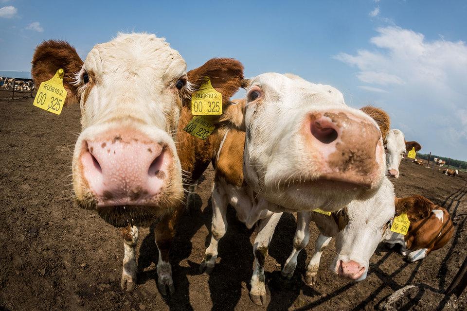 В конце 2015 г. «Эконива» запустила молочный мегакомплекс на 2800 голов в Воронежской области