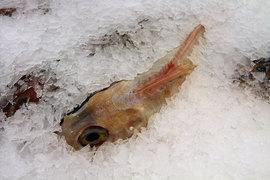 С введением продуктового эмбарго охлажденная рыба в России подорожала как минимум вдвое