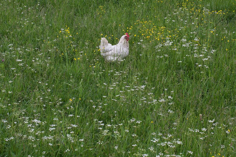 Мясо птиц, которые росли медленнее и зачастую на свободном выгуле, может стоить на 20–200% дороже обычного