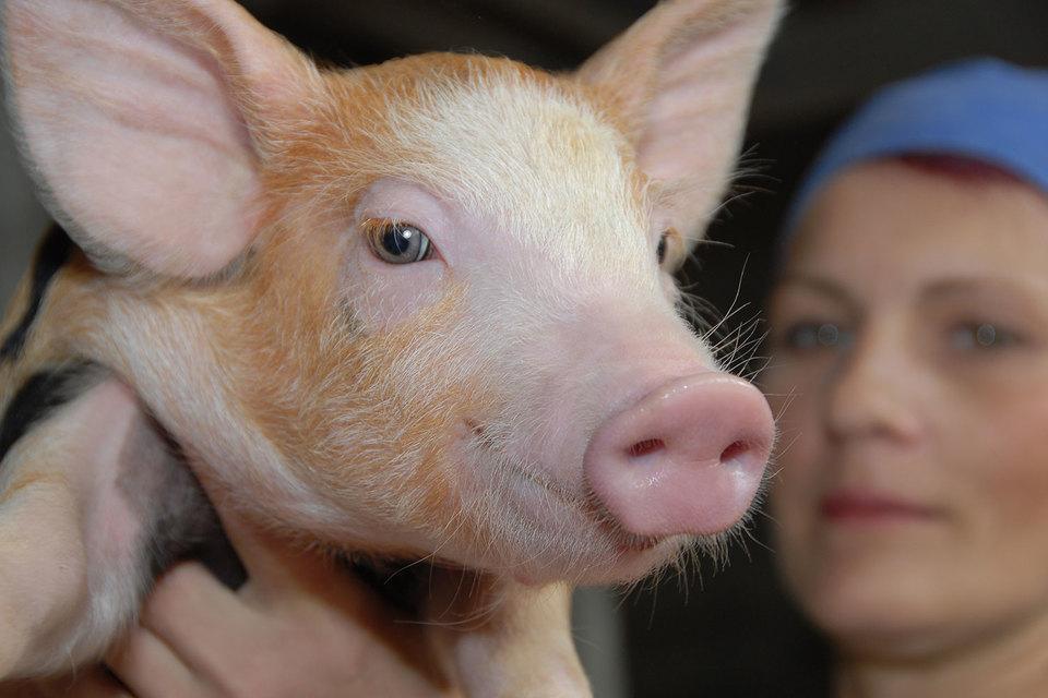 В России свинина дорожала, а в Европе – наоборот