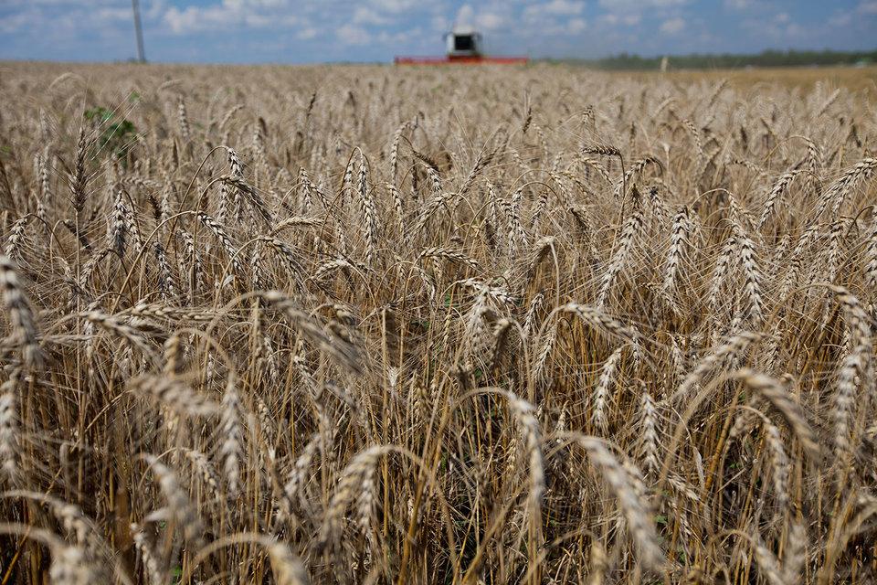 Российскую пшеницу покупают более 130 стран