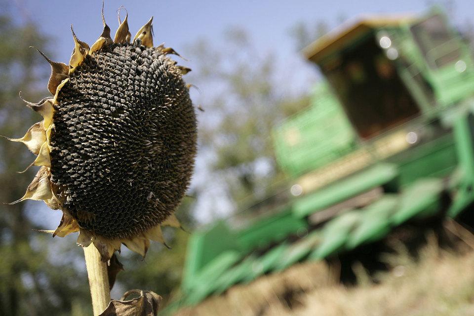 Урожай подсолнечника в мире обещает стать рекордным из-за высокого производства в России и на Украине