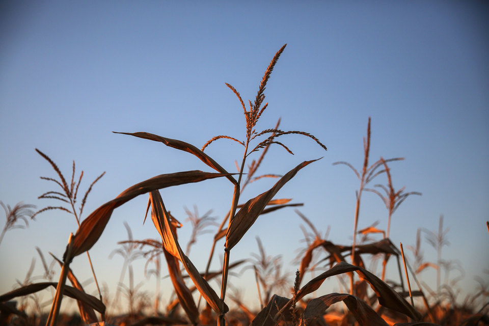 Цены на зерно в июле упали, это происходит на фоне снижения цен на кукурузу