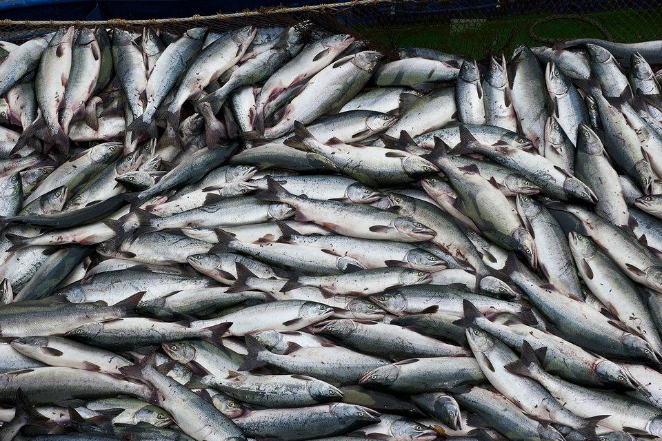 Сбербанк и власти Сахалина создадут проект по доставке рыбы с Дальнего Востока в другие регионы России. Стоимость проекта – не менее 50 млрд руб.