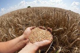 Будь цена повыше, российские фермеры продавали бы зерно еще более охотно
