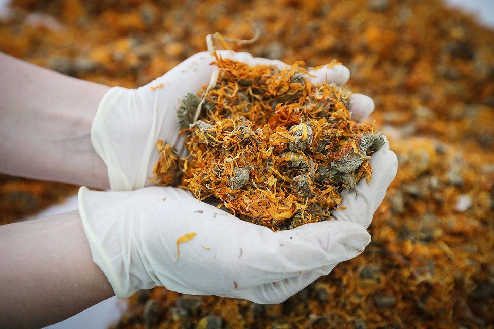 Philip Morris готова научить российские компании выращивать лекарственные травы