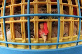 В прошлом году «Акашево» произвело 5% куриного мяса в стране – 203 000 т.