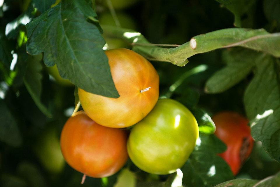 На площади более 60 га планируется выращивать более 45 000 т томатов в год