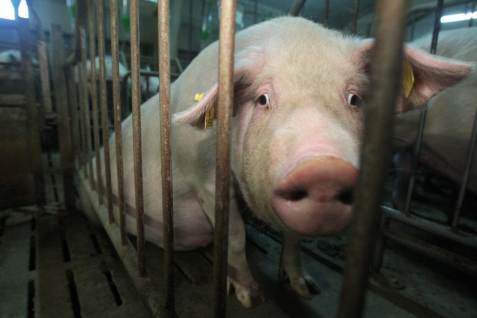 Россельхознадзор может ввести карантин в Краснодарском крае – по африканской чуме свиней