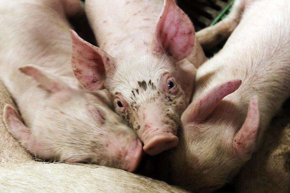 В Краснодарском крае африканская чума свиней добралась до крупнейших свинокомплексов