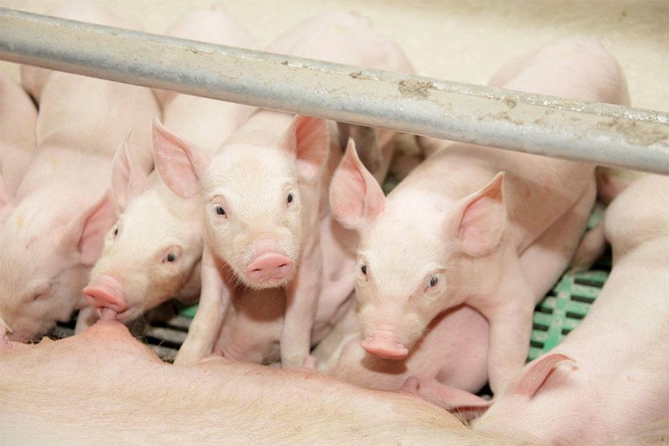Крупный производитель свинины «Агро-Белогорье» намерен увеличить мощности на треть, инвестировав 10 млрд руб.