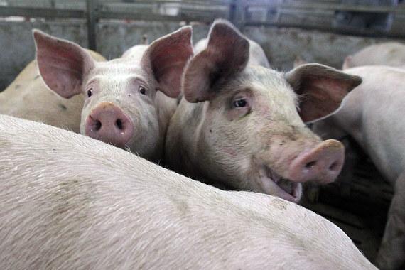 «Черкизово» сократило годовые продажи свинины из-за АЧС
