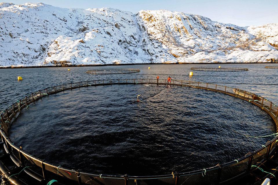 «Балтийский берег» лишился всего поголовья садкового лосося