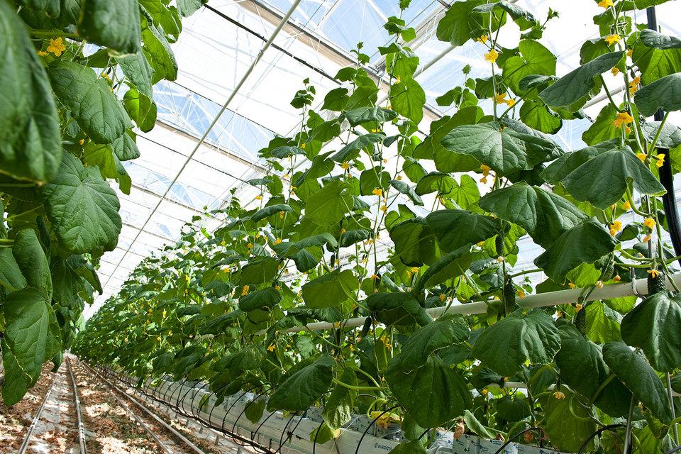 Чтобы отказаться от импорта помидоров и огурцов, в России должно ежегодно вводиться в 1,5 раза больше теплиц
