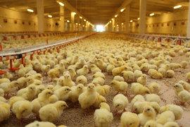 Россия практически полностью вышла на самообеспечение по птице (95%) и по свинине (90%), уточнил представитель группы