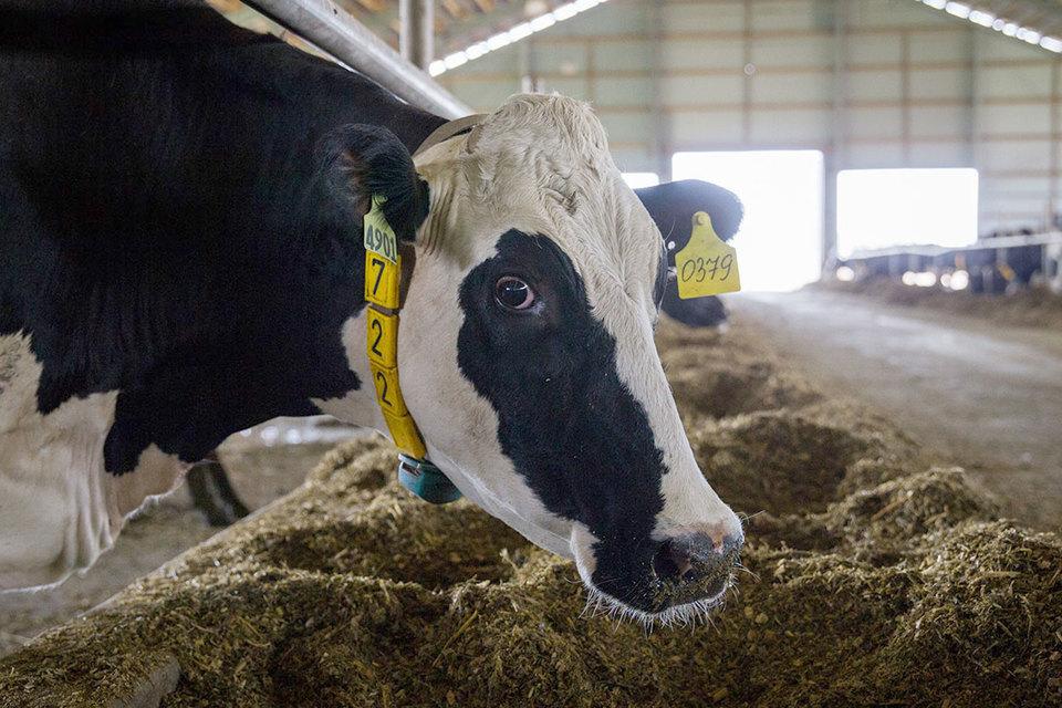 В прошлом году «Эконива» увеличила надои молока почти на четверть
