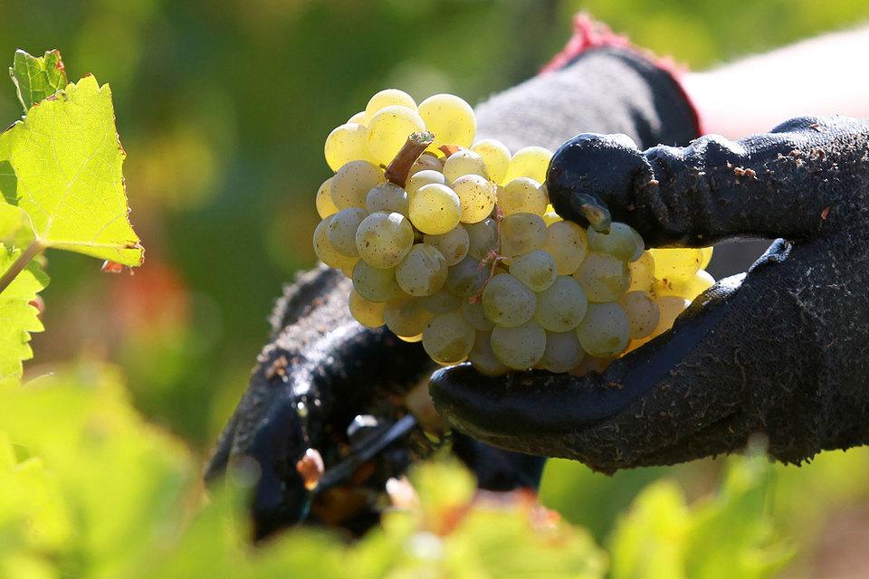 Шампань и Бургундия, другие винодельческие регионы Франции, пострадали меньше Бордо, но сильнее, чем год назад