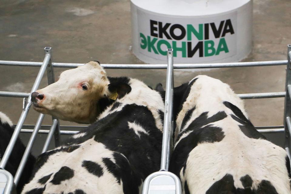 К концу года «Эконива» немецкого бизнесмена Штефана Дюрра увеличит поголовье коров в 1,5 раза