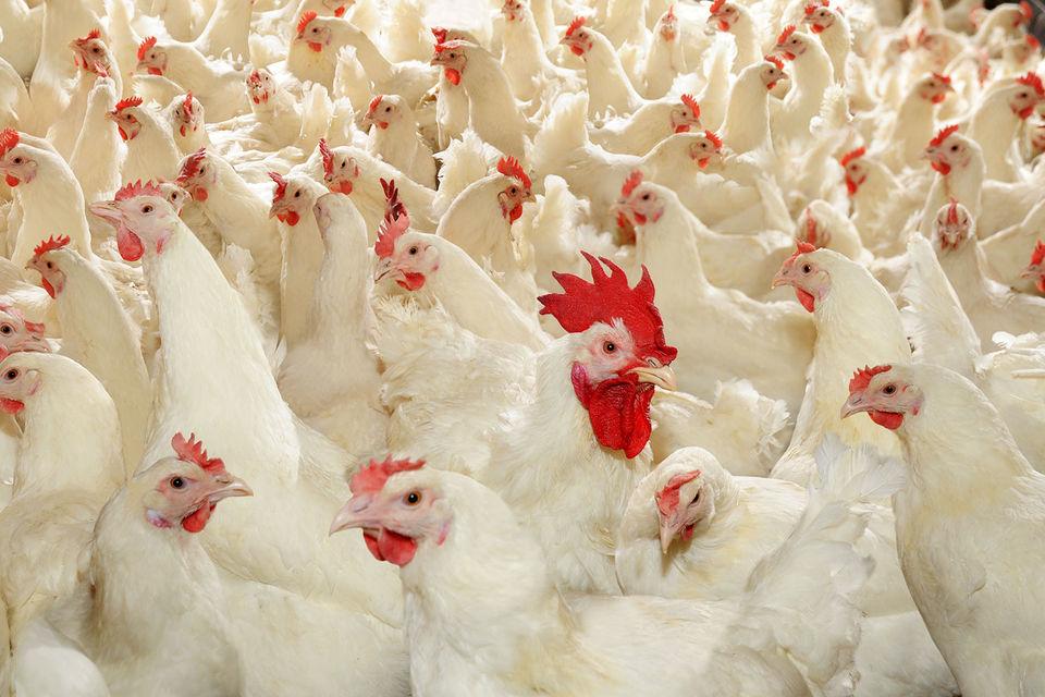 Капитализация «Черкизово» – $923,2 млн, агрохолдинг занимает 2-е место на рынке куриного мяса (доля – 10%) и 3-е – на рынке свинины (5,2%)