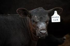 «Мираторг» – крупнейший производитель мраморной говядины в стране и, как результат, крупнейший получатель госсубсидий, выделенных этой подотрасли