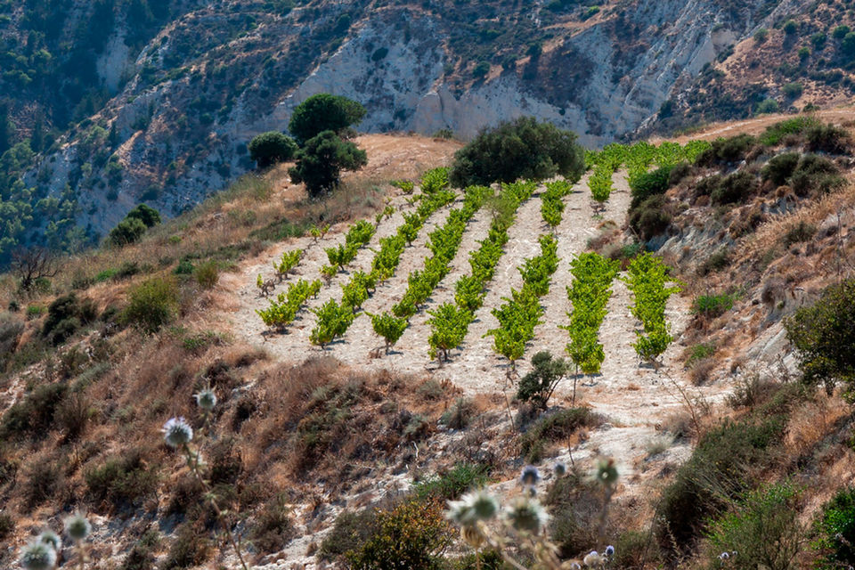 Основное время сбора урожая винограда на Кипре приходится на август, когда температура может достигать 36 градусов