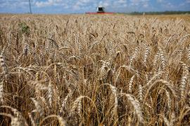 Государство намерено начать закупки зерна у аграриев в специальный госфонд, чтобы не допустить падения цен после массового поступления урожая на рынок