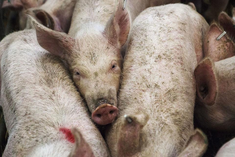 В каких областях запретили держать свиней