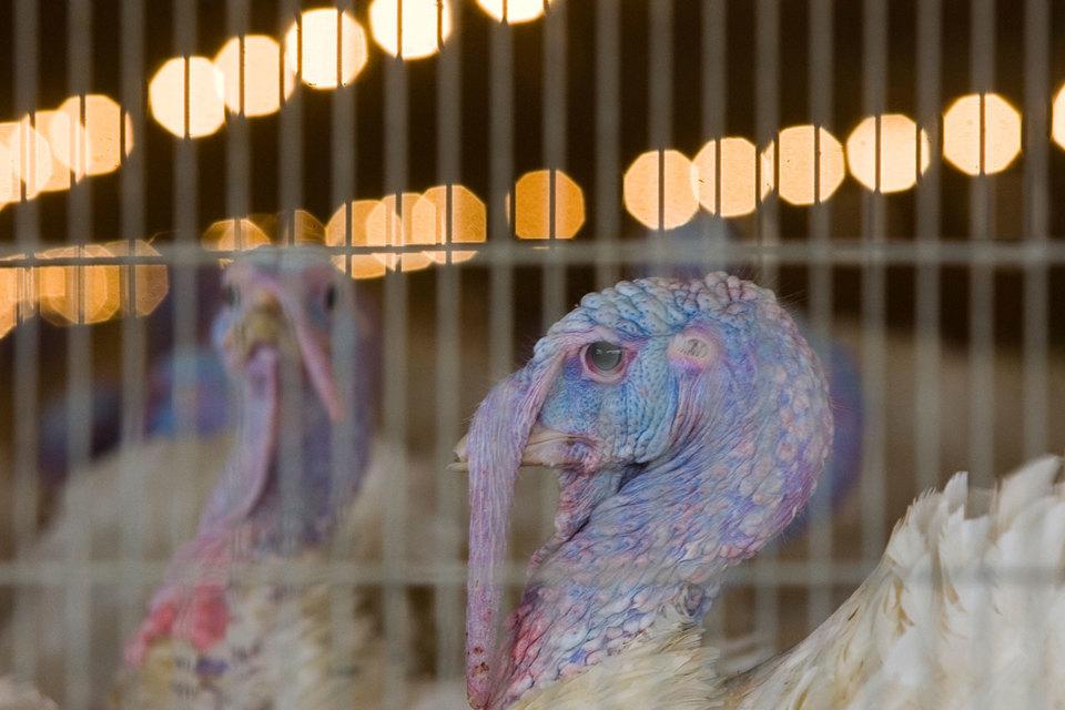 Из-за птичьего гриппа «Евродону» пришлось уничтожить около 160000 индюков
