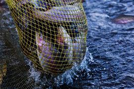 По итогам первого полугодия 2017 г. «Русская аквакультура» произвела 6936 т рыбы, что в 8,3 раза больше, чем годом ранее