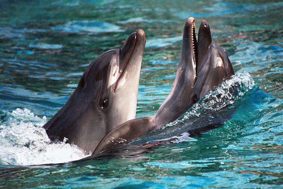 В водах Черного моря обитает три вида морских млекопитающих - белобочка, черноморская афалина (на фото) и азовка