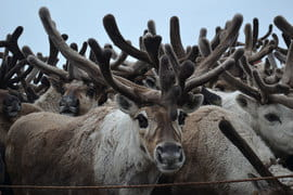«Экссон нефтегаз» перебросил 30 оленей из Якутии на Сахалин – местное поголовье вымирает