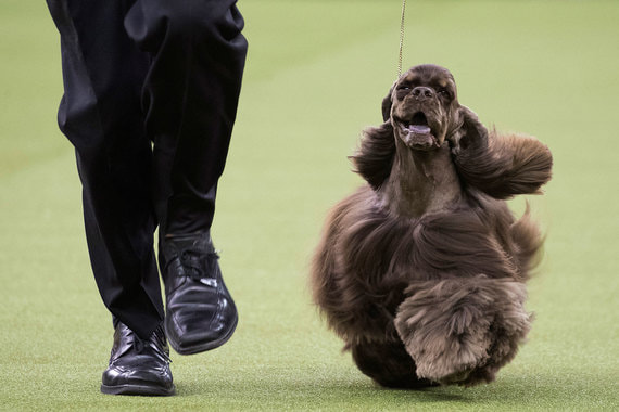 14 февраля 2018 г. Самая престижная в США выставка собак Westminster Kennel Club dog show