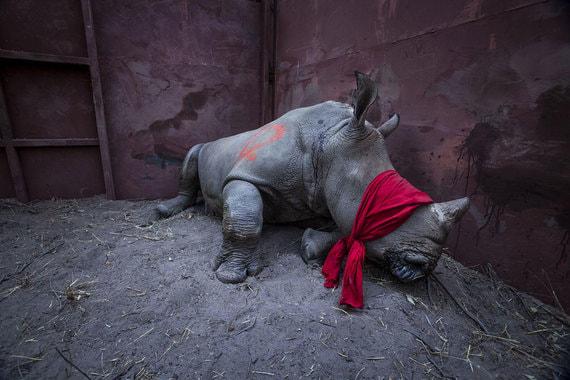 Номинация: «Окружающая среда. Одиночный кадр»Название снимка и автор: «В ожидании свободы», Нейл Олдридж, ЮАР. О чем фотография: Детеныш южного белого носорога с завязанными глазами и накачанный лекарствами и наркотиками, спит, пока его собираются выпустить в дикую природу после спасения от браконьеров