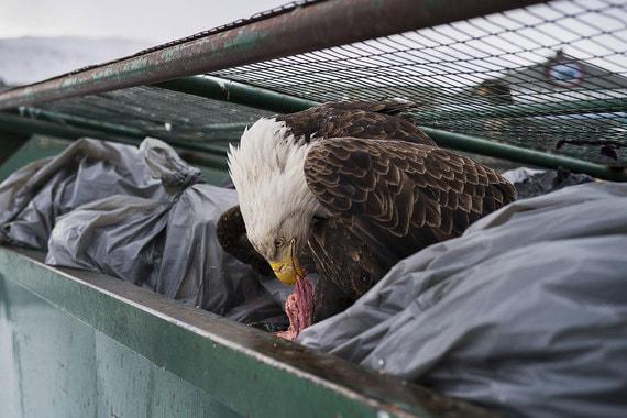 Номинация: «Природа. Одиночный кадр»Автор: Кори АрнольдО чем фотография: В объектив американского фотографа попал белоголовый орлан. Еще давно они были близки к вымиранию, но сейчас их популяция восстанавливается